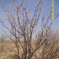 山桃大树灌生,风景树.山杏,水腊,沙地柏