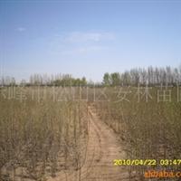 杨树,赤峰杨厂