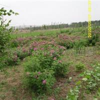红刺玫大苗优质超标准