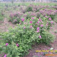 红刺玫大苗优质超标准厂