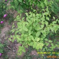 榆叶梅纯种!低价高质厂