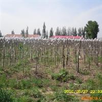 金叶垂榆,高杆嫁接优质苗厂