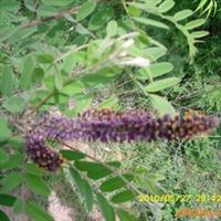 紫穗槐乔本灌生,可乔可灌,园林道路,小区绿化
