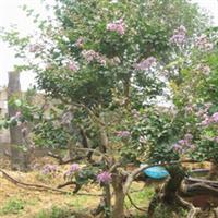 枣庄苗圃基地供应绿化装饰用树庭院紫薇百日红花树百日红树