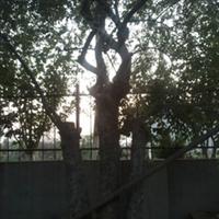 枣庄源源商贸有限公司供应 绿化树风景树|榆树|绿化树|风水用树