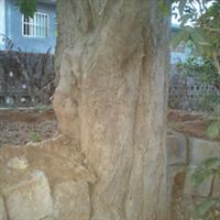 绿化朴树|大型古树|绿化树|风景树