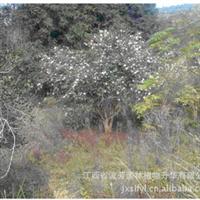 优价供应全国、江西绿化苗木 原生油茶树  种苗 优质木苗