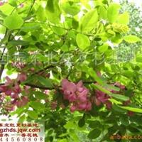 绿化苗木垂柳厂