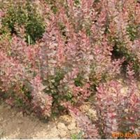 供应绿化苗木 红瑞木 红叶小檗 月季厂