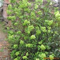 金宏绿化苗木场供应木绣球 斗球