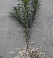 金宏绿化苗木场供应红豆杉 红豆杉苗