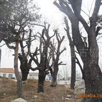 供应古树名木:山里红 冬青厂