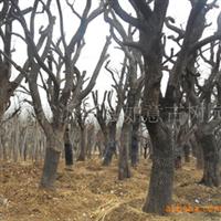 供应古树名木:山里红 冬青