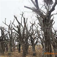 供应古树名木:山里红、柿树、香椿等苗木厂