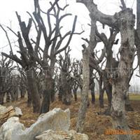 供应古树名木:山里红、柿树、香椿等苗木