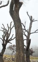 大量供应绿化古树----百年榆树