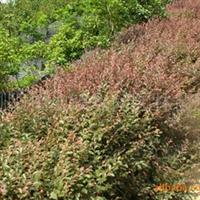 供应红花桎木 绿化苗木 灌木 色块苗