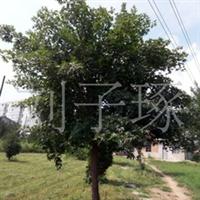 供应绿化苗木五角枫厂