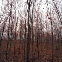 供应绿化苗木刺槐