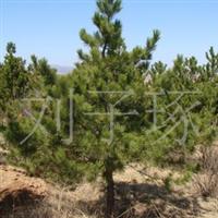 供应绿化苗木油松0.5-10米