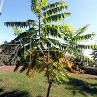供应火炬树(图)