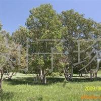 供应绿化苗木白桦厂