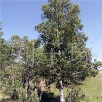 供应绿化苗木白桦