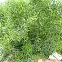 光棍树/绿玉树
