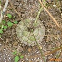 南非龟甲龙