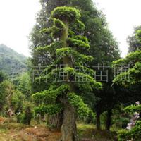 大量供应 绿化苗木  造型 榆树