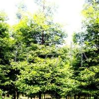 提供各种规格楠木树