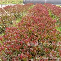 轻基质(无纺布)红叶石楠扦插苗!