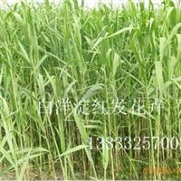 芦苇苗厂家 芦苇苗供应商 芦苇较低出售