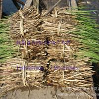 芦苇苗 芦苇苗 专业种植芦苇 芦苇价格