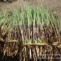 芦苇苗 芦苇苗 专业种植芦苇 芦苇价格厂