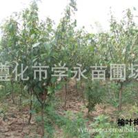 薛永苗圃场专心栽培 供应榆叶梅;丛生;独干榆叶梅