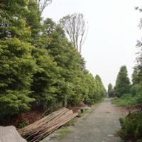 楠木 华鸿苗圃 精品苗圃 苗木 供应多种苗木精品 量大从优厂