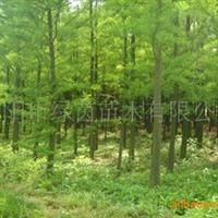供应5-20公分全冠水杉、池杉厂