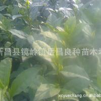 批发价销售优质成活率高梅占茶叶苗厂