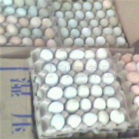 供应批发七彩山鸡蛋、七彩山鸡鸡苗、种蛋江西利宏家禽常年孵化厂