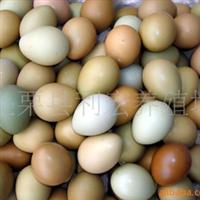 供应批发七彩山鸡蛋、七彩山鸡鸡苗、种蛋江西利宏家禽常年孵化