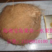 老椰子/毛椰子/老毛椰/青皮椰子/椰王海南水果采摘加工批发供应
