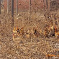 土鸡种蛋厂