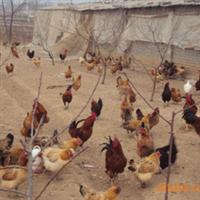 青脚土鸡种蛋,保证90%以上的孵化率厂