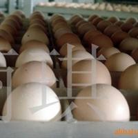 供应种鸡蛋