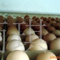 供应麻鸡种蛋