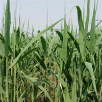供应芦苇苗厂