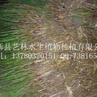 白洋淀野生芦苇苗(图)厂