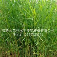 白洋淀野生芦苇苗(图)