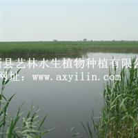 品牌水生植物特卖--锦秀天牌芦苇苗厂